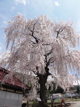 中塩のしだれ桜1.jpg