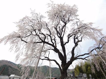 坪井のしだれ桜.jpg