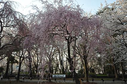 紅しだれ桜.jpg