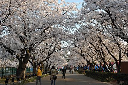 桜ロード.jpg