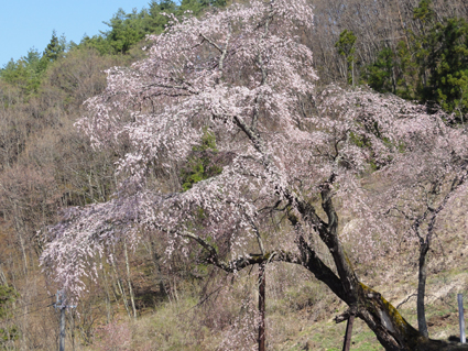 赤和のしだれ桜.jpg